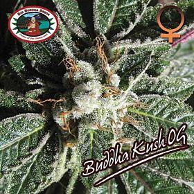 Big Buddhas Seeds Buddha Kush OG Feminized