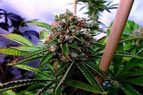 Soma Seeds Buddha's Sister Regular Seeds