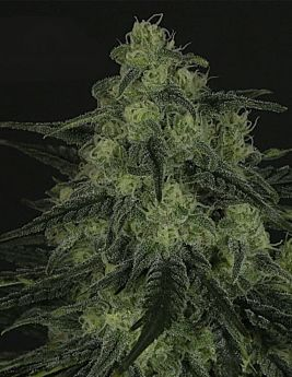 ripper seeds black valley