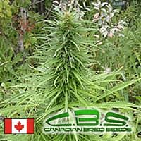 canadian bred seeds early sativa