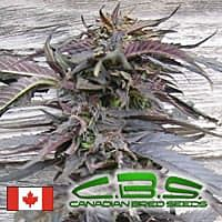 canadian bred seeds lethal purple
