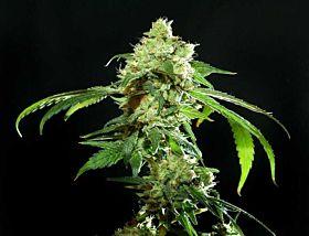 Resin Seeds Cannatonic Regular