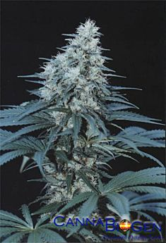 CannaBioGen Caribe Regular Seeds