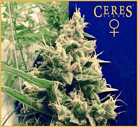 Ceres Seeds Hollands Hope Feminised Seeds