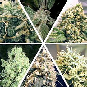 Ceres Seeds Ceres Feminised Seeds Mix