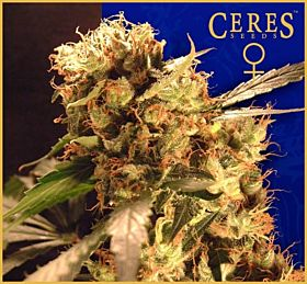 Ceres Seeds Orange Bud Feminised Seeds