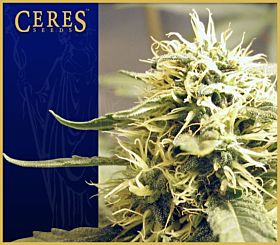 Ceres Seedbank Ceres Kush Regular