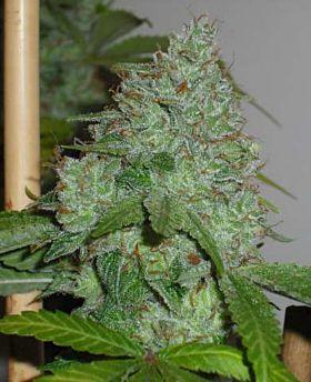Connoisseur Genetics Seedbank OG Chem Regular Plant