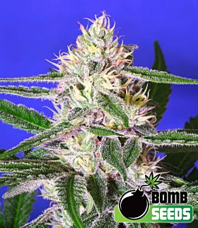 Bomb Seeds Cheese Bomb Feminized