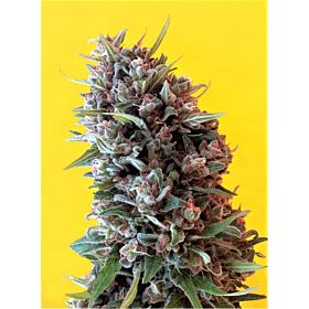 Breaking Buds Seeds Cheeisenburg Fem