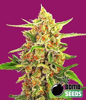 Bomb Seeds Cherry Bomb Feminized