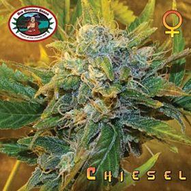 Big Buddha Chiesel Feminised Seeds