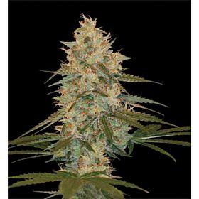 DNA Genetics Chocolope Kush Regular Plant