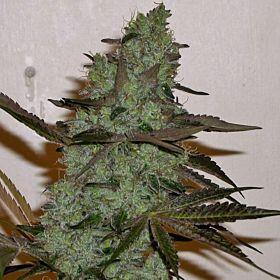 Connoisseur Genetics SeedbankGirl Scout Haze Cookies Plant
