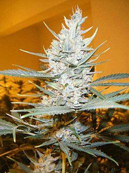 Cream of the Crop Seeds - Amphetamine Auto Feminized
