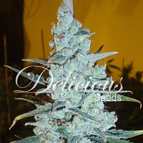 Delicious Seeds - Critical Jack Herer