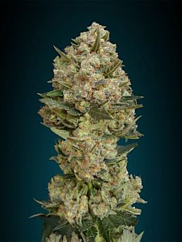 Advanced Seeds Critical Feminized