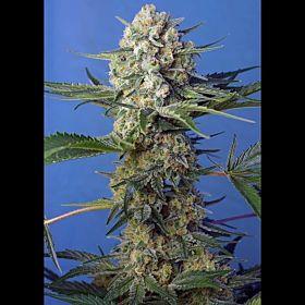 Sweet Seeds Crystal Candy F1 Fast Fem