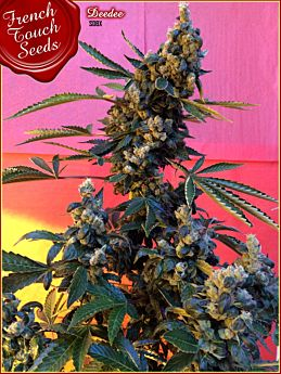 French Touch Seeds Deedee BX1
