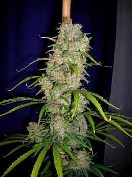 CannaBioGen Destroyer Feminised Seeds
