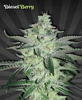 Auto Seeds Diesel Berry Automatic Feminized Seeds