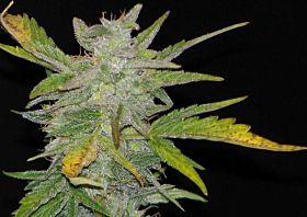 Joint Doctors Seedbank - Disel Ryder Autoflowering Feminized Seeds