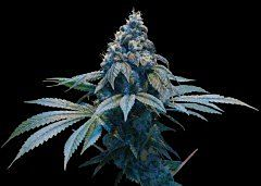 DNA Genetics Limited Collection Kush Dreams Regular
