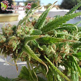 Dr Krippling Ganj-nam Style Feminized Seeds