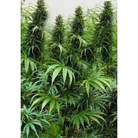 Holy Smoke Seeds Drakensberg Regular