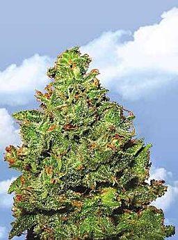 Flying Dutchmen Edelweiss Feminised Seeds