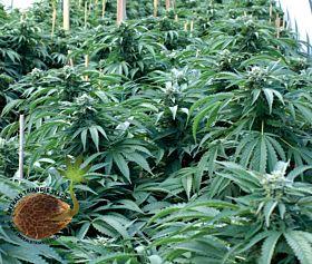 Bubba 76 Regular Seeds
