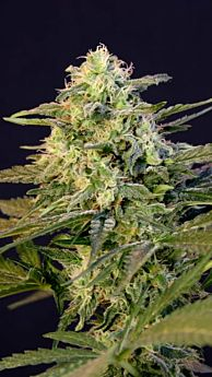 BlimBurn Seeds OG's Kush Feminised Seeds