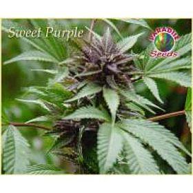 Paradise Seeds Sweet Purple Feminised Seeds