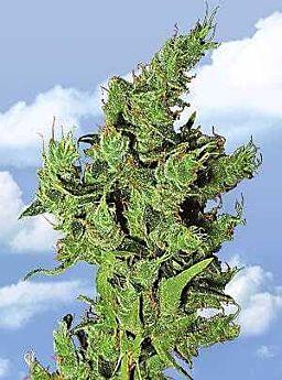 Flying Dutchmen Amsterdam Mist Feminised Seeds