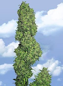 Flying Dutchmen Dame Blanche Feminised Seeds