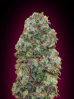 00 Seeds Bubble Gum Feminized Plant