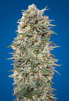 00 Seeds California Kush