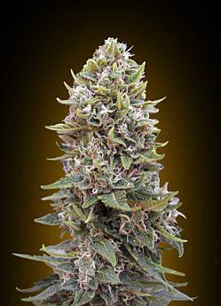 00 Seeds Auto Cheese Berry Feminized Plant Hashchis