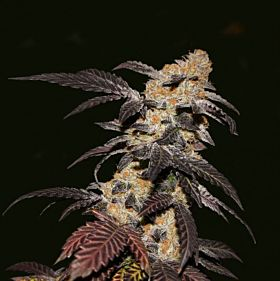 th seeds french cookies