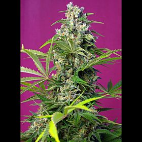 Sweet Seeds Gorilla Girl Fem