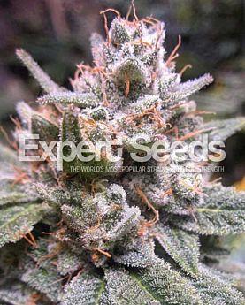 Expert Seeds Gorilla Glue #4 Auto Fem