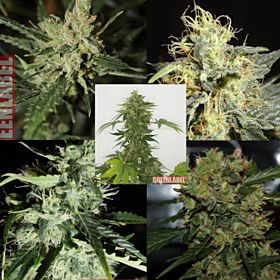 Green Label Mix Pack #2 Feminized Seeds
