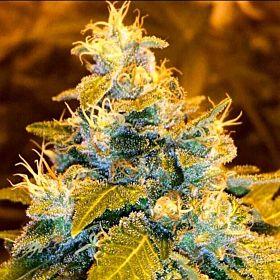 Holy Smokes Seeds Green Bling Fem