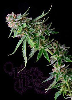 LaPlata Labs Seeds Green Alien Regular Seeds
