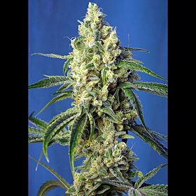 Sweet Seeds Green Poison CBD Fem