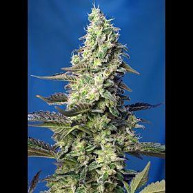 Sweet Seeds Green Poison XL Auto Fem
