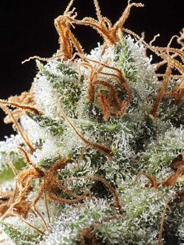 Elemental Seeds - Grizzly Kush Regular