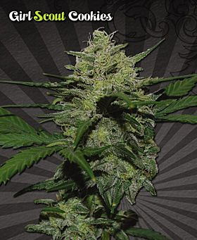 Auto Seeds Girl Scout Cookies Auto