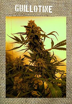 French Touch Seeds Guillotine Autoflowering
