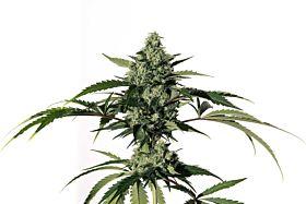 Medical Marijuana Genetics Hiydrow (HY-1)
